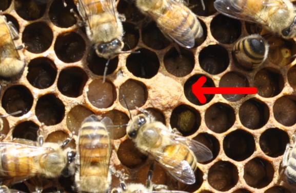女王蜂_室内養蜂24日